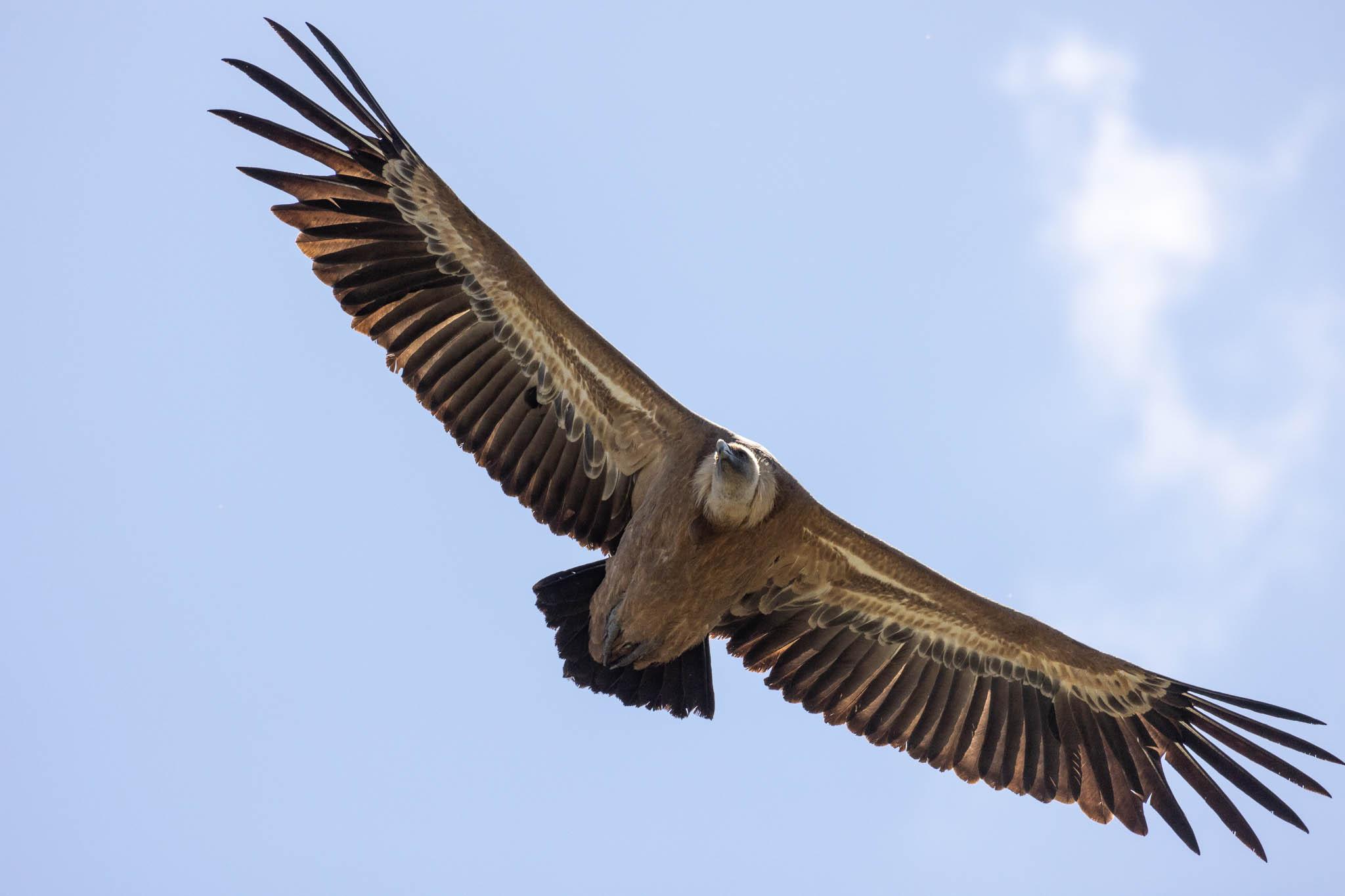 4 juin : Les vautours